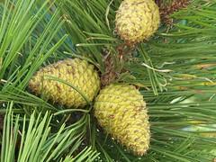 New Pine Cones Horseneck