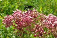 Black wasp on pink flowers