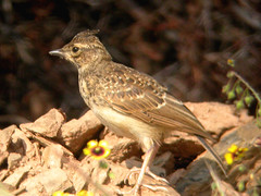 Thekla Lark, west of Mértola (Portugal), 26-Apr-06