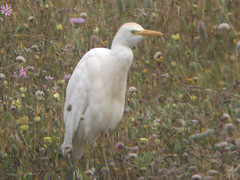 Cattle Egret, Castro Marim (Portugal), 27-Apr-06