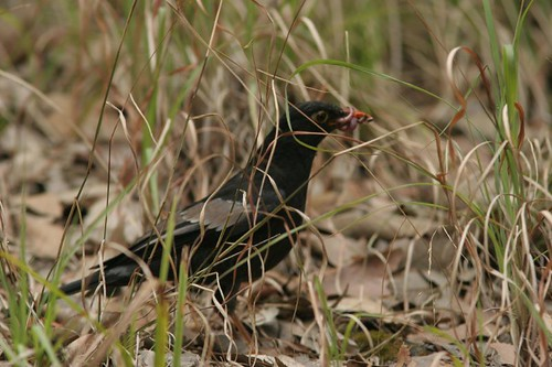 the early blackbird gets the worm