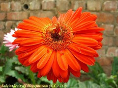ch - cv orange gerberas