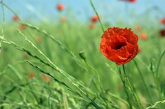 More Poppies photo by Tessar.