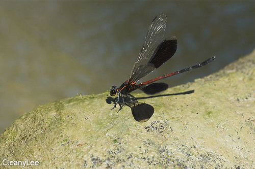 12967短腹幽蟌 Euphaea formosa