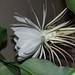 epiphyllum-oxypetalum-29-03-juillet-2005-22h36