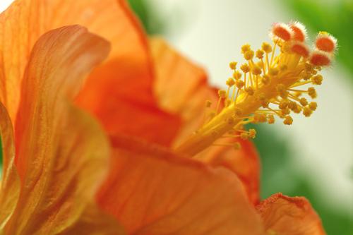 hibiscus hanna