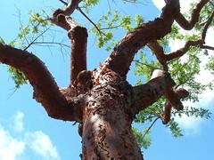 Key West Tree