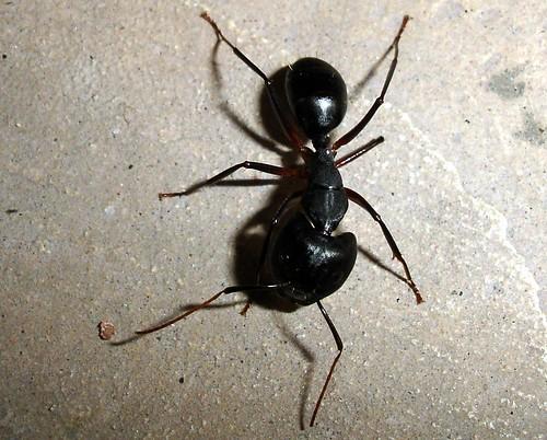 Mega Ant - రాకాసి చీమ