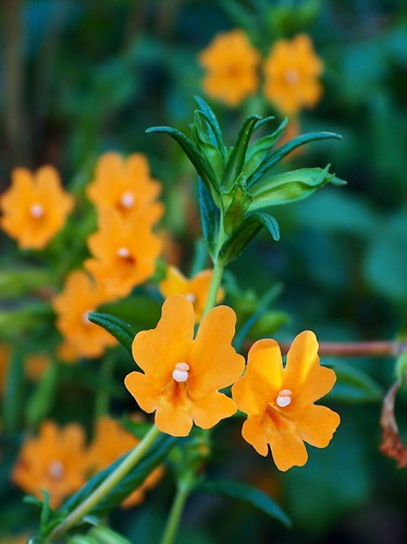 05-08-BigSurBushMonkeyflower
