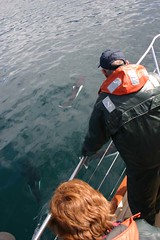 Bow-riding Dall's porpoises