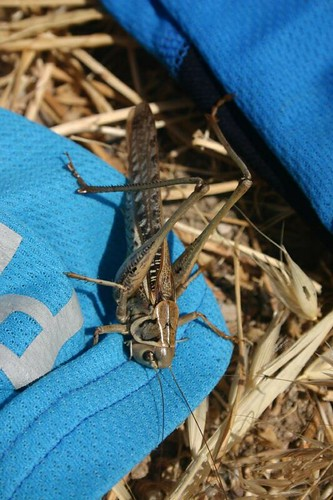Giant grasshopper on Nicolai's jersey