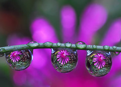 drops of purple petals photo by Steve took it