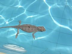Chameleon in the pool