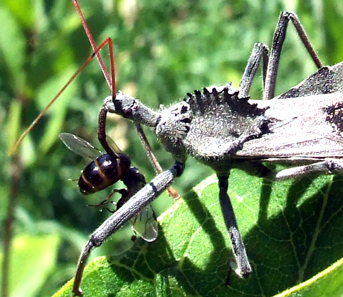 wheel bug with wasp