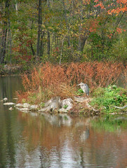 Great Blue Heron resting