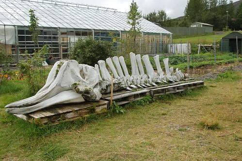 Whale_bones_@_Laugarvatn,_Iceland.jpg