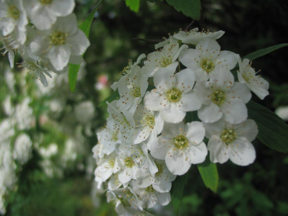 primaveraok