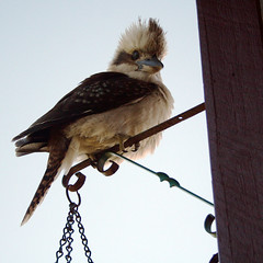 Kookaburra Sits on the Old Lamp Post