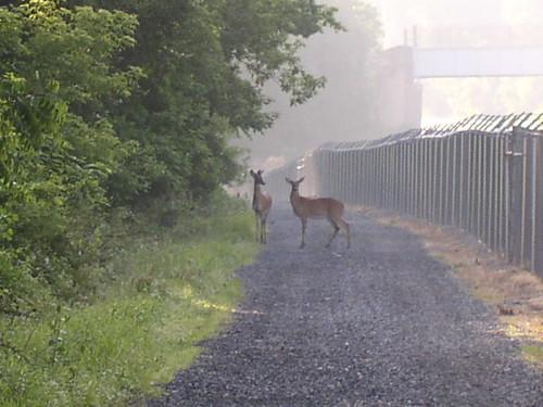 Closer deer