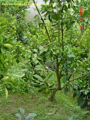 ch - pomelo tree