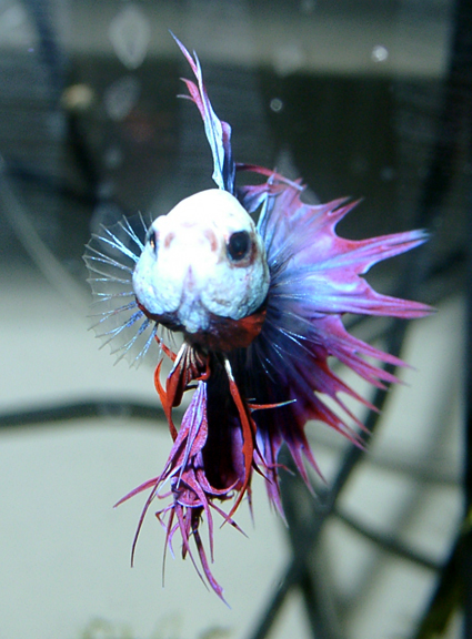 distilled water may cause lethargy in bettas fish care