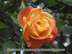 Uma rosa é uma rosa