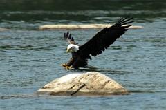 Bald Eagle @ Great Falls 6/18/2006