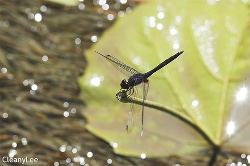 13010樂仙蜻蜓 Trithemis festiva