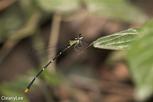 13084黃尾琵蟌 Coeliccia flavicauda flavicauda