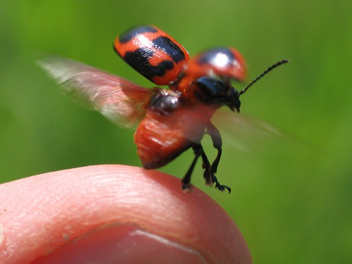 Ladybug taking flight