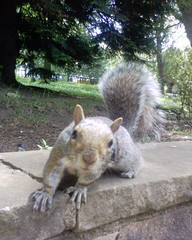 Squirrel in Kelvingrove Park