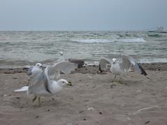Seagull cracker fight, one