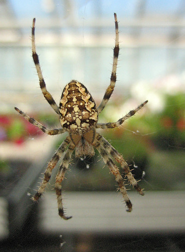Brown Spider Yellow Spots http://uk.answers.yahoo.com/question/index?qid=20080421054731AAwVwXD