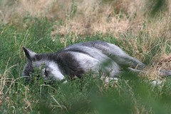 Wolf napping