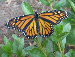 monarch, about to fly