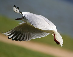 Graceful gull photo by catb -