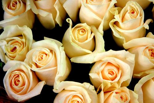 """"""" وردة الجوري"""" 11785303_af3f9ea6ed."""