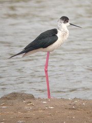 Black-winged Stilt, Castro Marim (Portugal), 26-Apr-06