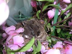 bulbul chicks6 (18May)