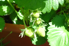 My strawberry plants, bearing fruit...