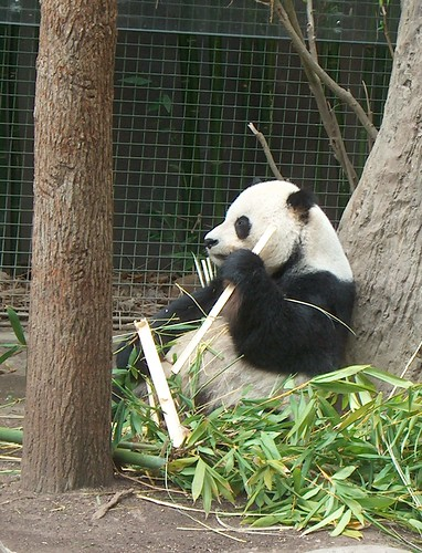 the male panda at the San Diego Zoo