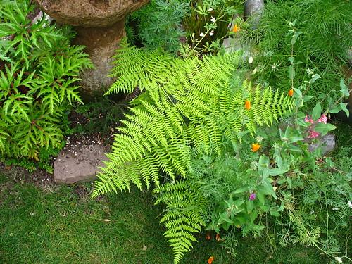 Deciduous fern