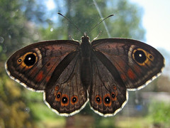 A Vitgräsfjäril