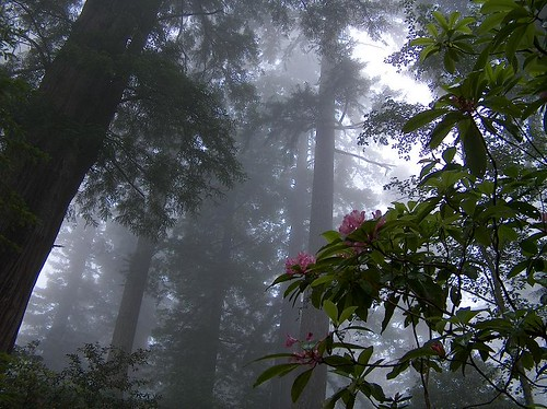 RhododendronRedwood