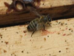 Bee 029