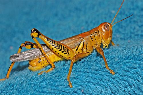 Grasshopper Blue