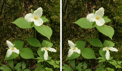 Stereo Trilliums