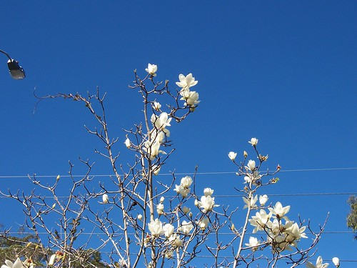 Magnolia denudata Racecourse Road Gosford