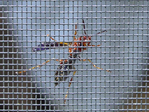 Wasp Through Screen (Zoom)