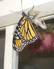 monarch and chrysalis